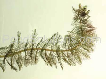 weeds-eurasion-milfoil.jpg