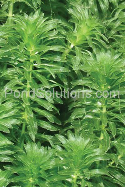 weeds-hydrilla.jpg
