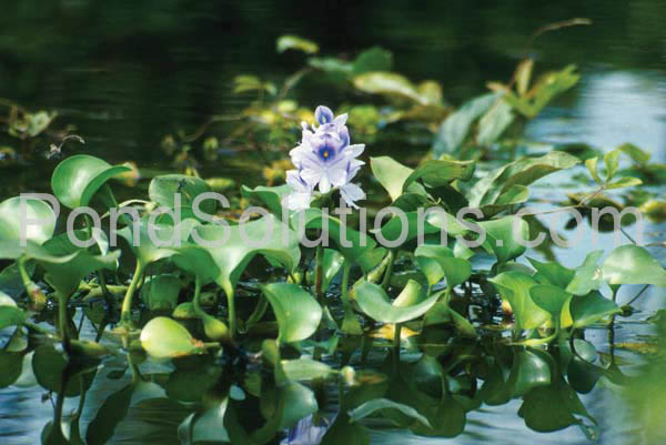 weeds-waterhyacinth.jpg