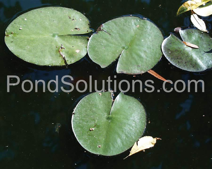 Weeds Waterlily