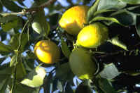 Healthy Citrus Tree