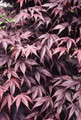 Acer palmatum 'Bloodgood': Bloodgood Japanese Maple