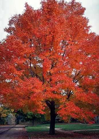 Red Maple Seeds From Treehelp