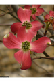 Cornus florida 'Rubra': Pink Flowering Dogwood Seeds