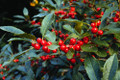 Ilex verticillata: Common Winterberry Seeds