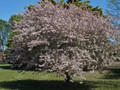 Malus floribunda: Japanese Flowering Crab Seeds