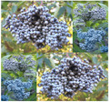 Sambucus caerulea: Blue Elderberry Seeds