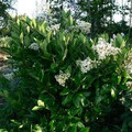 Ligustrum japonica: Japanese Privet Seeds