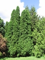 Thuja occidentalis: White Cedar or Eastern Arborvitae Seeds
