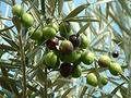 Olea europaea: Common Edible Olive Seeds