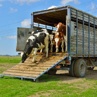 Cattle - Loading - Unloading SWMS