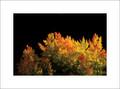 Fall Tree Lemhi Pass