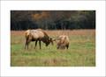 Elk Rut #2, Cataloochee
