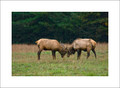 Elk Rut #3, Cataloochee