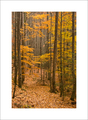 Fall Forest, Lynn Camp Prong