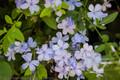 Cerulean Blue Flowers