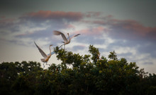 Great Egret's coming in to their nest in the trees on an island in a Wisconsin lake.