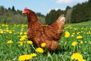 Picture-of-brown-chicken-in-field-with-blue-sky