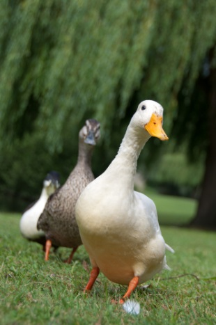 Picture-of-two-ducks-in-a-green-field