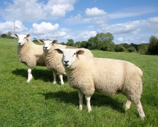 picture-of-lambs-in-field-with-blue-sky