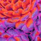 Berry Jewel Poppy Scrub Cap - Image Variant_0