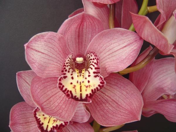 cymbidium-orchids-pink.jpg