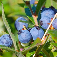 BlueBerry (Wild) TFA