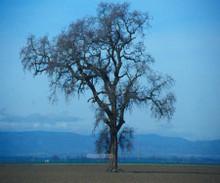 Oak tree beach/ market tote