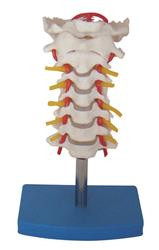 The Cervical Vertebral Column with Neck Artery Model consists of occipital plate, the seven cervical vertebrae with intervertebral discs, cervical nerves, vertebral arteries and spinal cord.