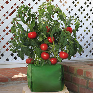 tomato grow bag coco coir inside just add water plant. Black Bedroom Furniture Sets. Home Design Ideas