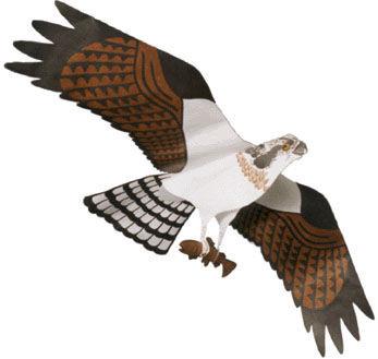 Jackite Osprey Kite