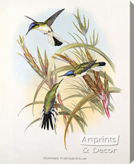 Heliothrix Purpureiceps - Hummingbird by John Gould - Stretched Canvas Art Print
