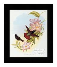 Aglaeactis Pamela - Hummingbird - Framed Art Print