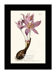 Flowered Meadow Saffron - Framed Art Print*