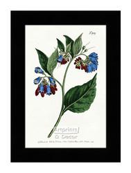 Prickley Comfrey - Framed Art Print*