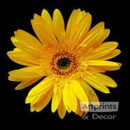 Yellow Gerbera Daisy by Sandra Kuck - Art Print