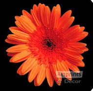 Orange Gerbera Daisy by Sandra Kuck - Stretched Canvas Art Print