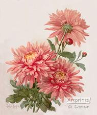 Pink Chrysanthemums by Paul de Longpre - Art Print
