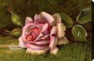 Pink Rose in the Grass - Stretched Canvas Art Print