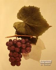 Ulster Grapes - Art Print