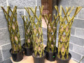 Rooted Woven Willow Novelty