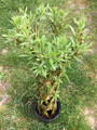Rooted Woven Willow Novelty 50cm High