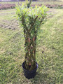 Rooted Woven Willow Novelty 70cm High