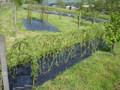 1m Long Living Willow Tunnel Kit (1.0m High )