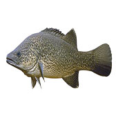 Murray Cod Lures