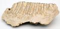 Fossil Siberian Woolly Mammoth Tooth Slice II