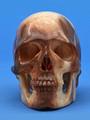 Fossil Walrus Ivory Skull by Lee Downey