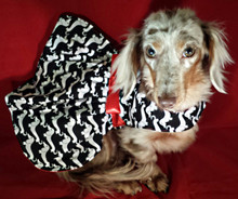 Mr. Wags Custom Dachshund Walking Harness DRESS - Day Out For Doxie