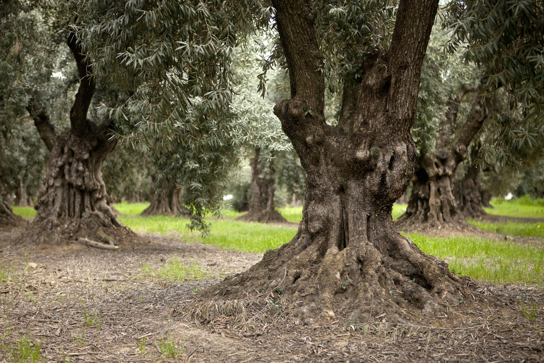 lucero-olive-grove-1.jpg