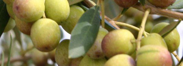 olives-on-tree-banner.jpg